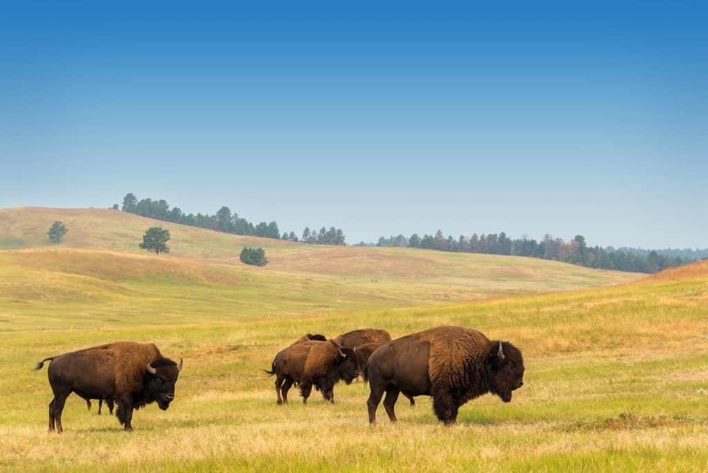 Several buffalo graze in open plain in Yellowstone.