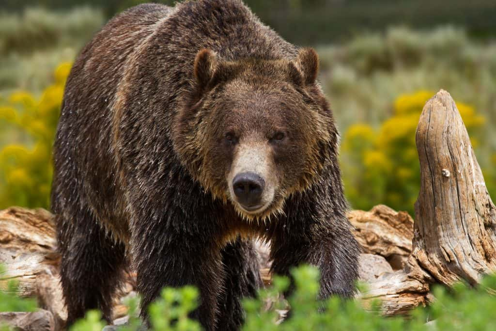 Grizzly bear forages near tree stump.